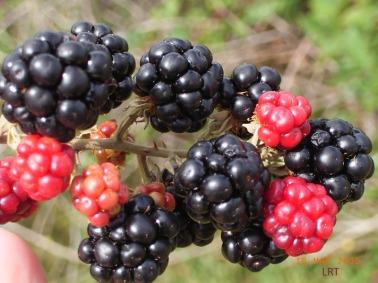 blackberry-fruit-inverell-lrt-web.jpg