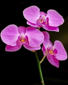 doritaenopsis-orchid-flickr-manjith-kainickara